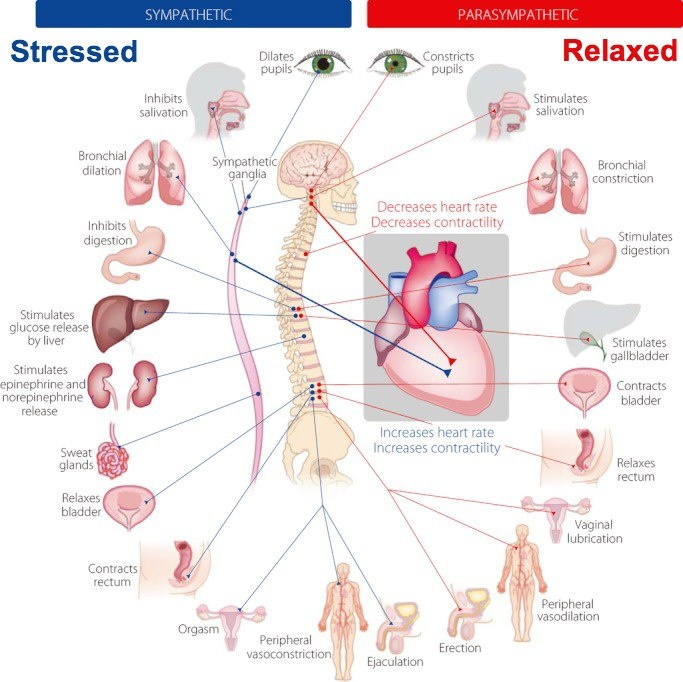 Diagram showing Sympathetic and Parasympathetic Systems